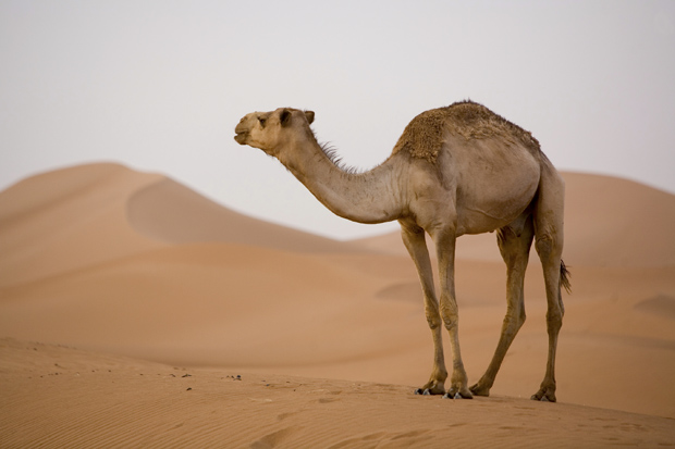 Stop Drinking Camel Urine World Health Organization Says
