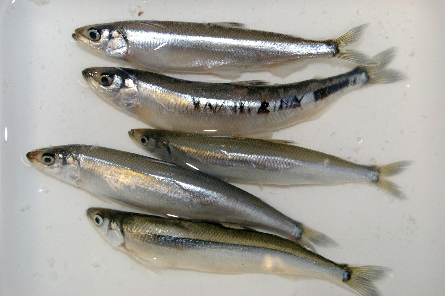Small fish eaten by bigger species protected on west coast for Types of small fish