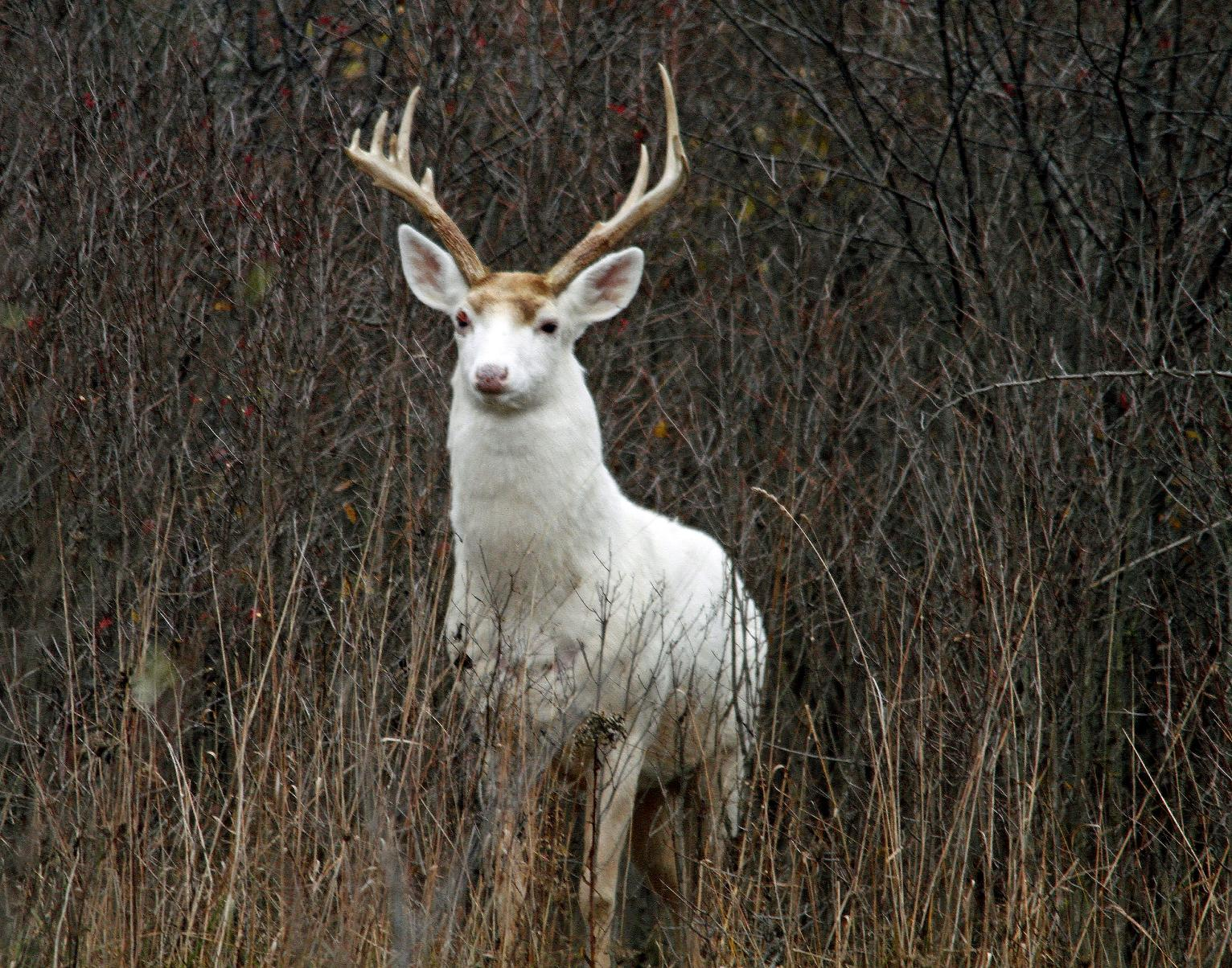 Future Uncertain For Rare White Deer At Former Weapons