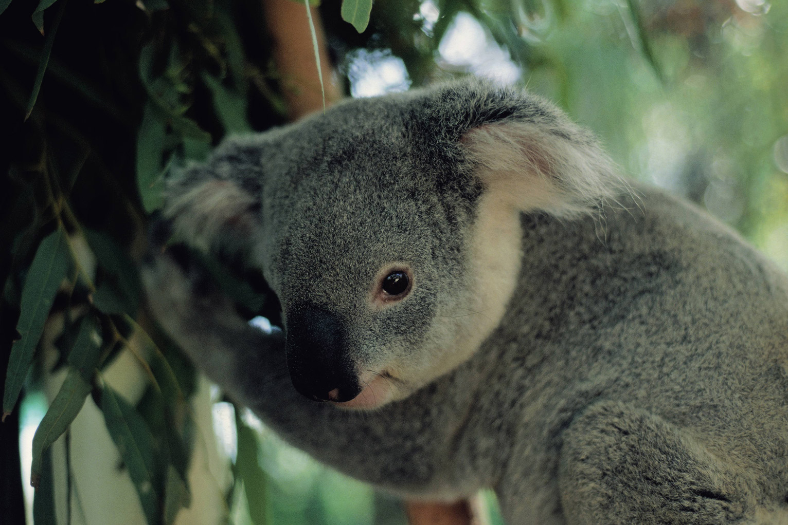 research koalas stay cool by hugging trees us news