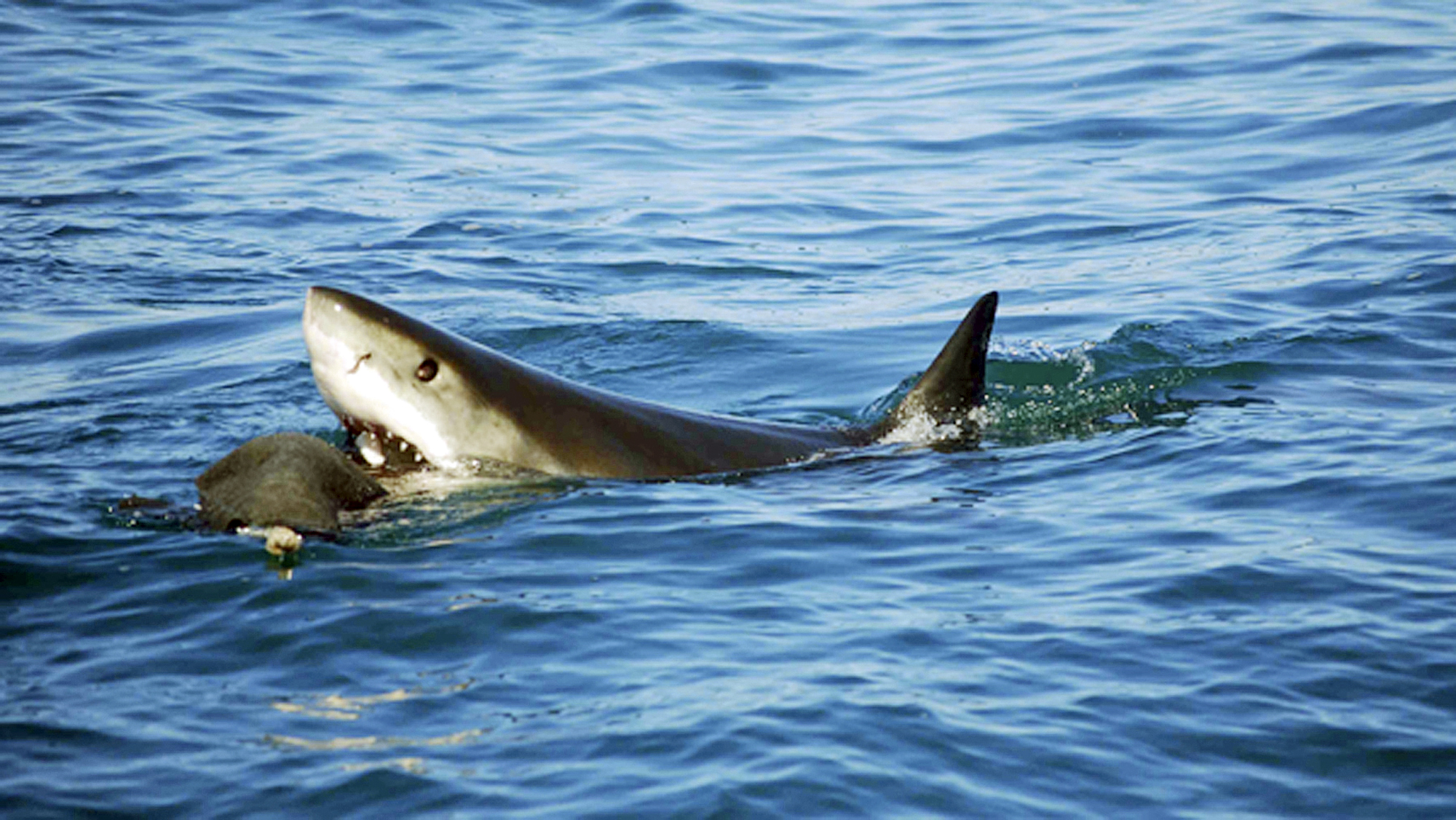 unraveling the mystery of great white sharks and what it