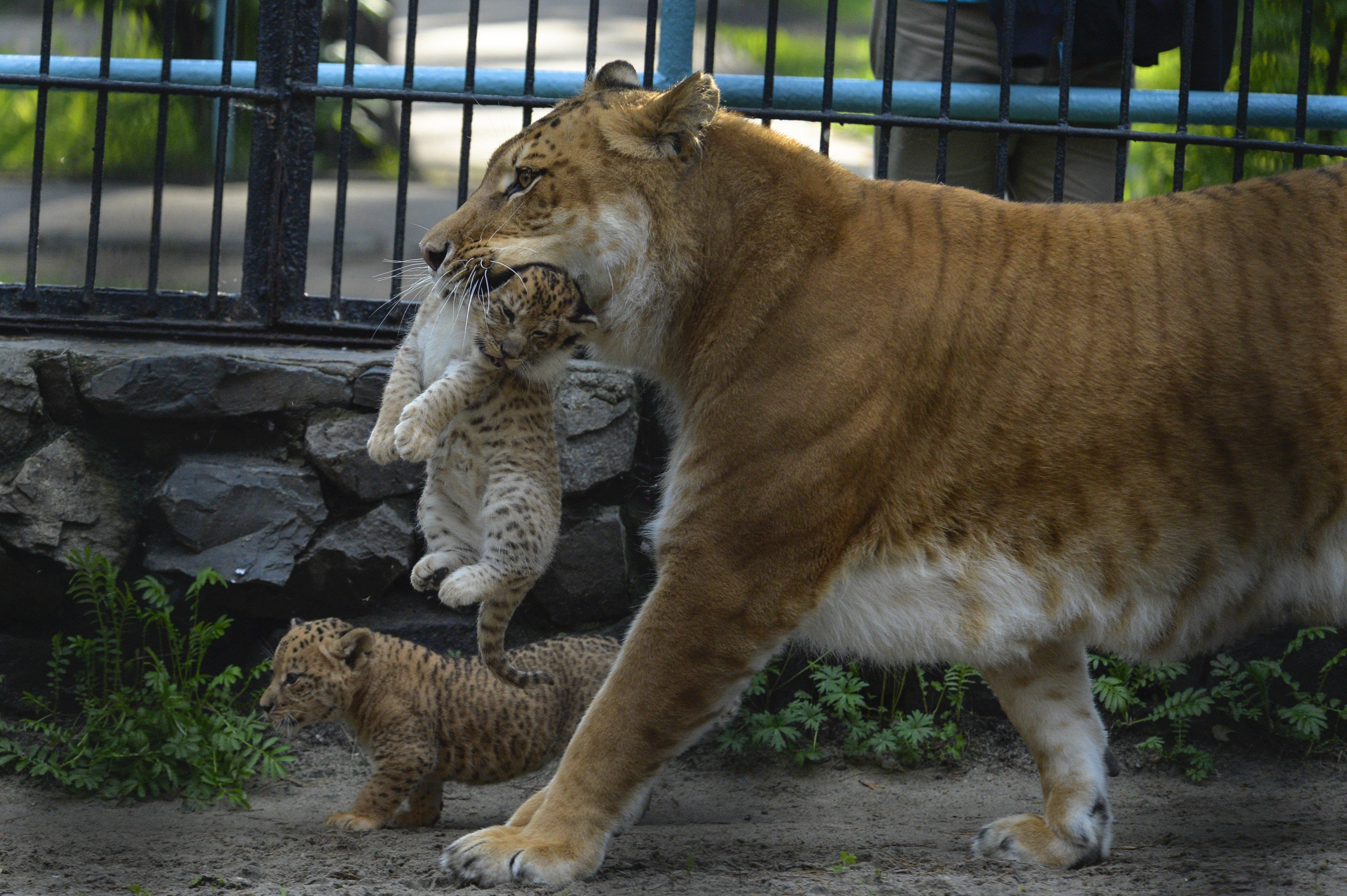 Liliger Litter Explores Novosibirsk Zoo in Russia | US News