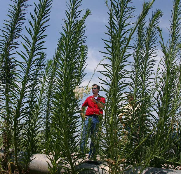 Genetically Modified Grass Could Make Superweed Problem Worse | WIRED